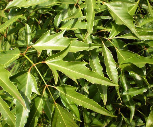 """Cây đinh lăng là một loại cây cảnh quen thuộc với người Việt Nam, có tác dụng như một loại """"thần dược"""" trị bệnh"""